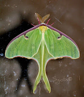 Yard and Garden Secrets: Attract Luna Moth to Your Yard