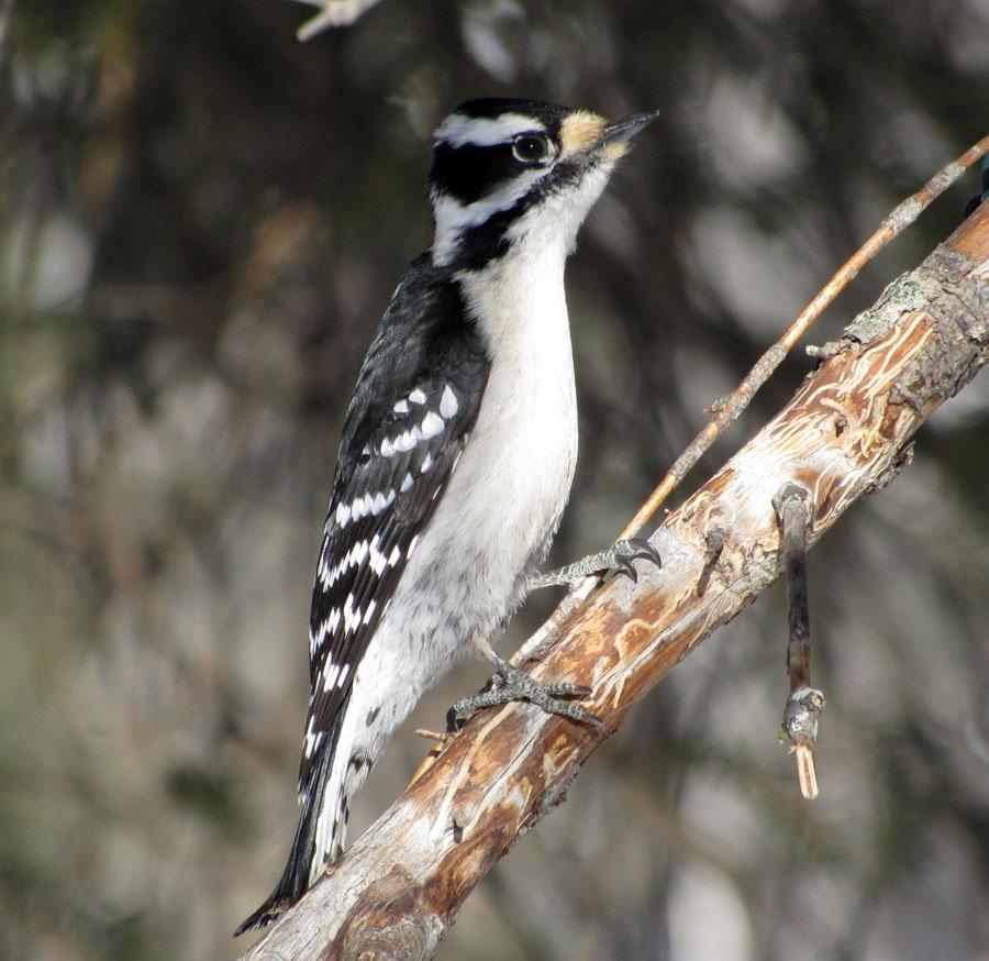 North Shore Nature: Some mid-winter backyard feeder birds