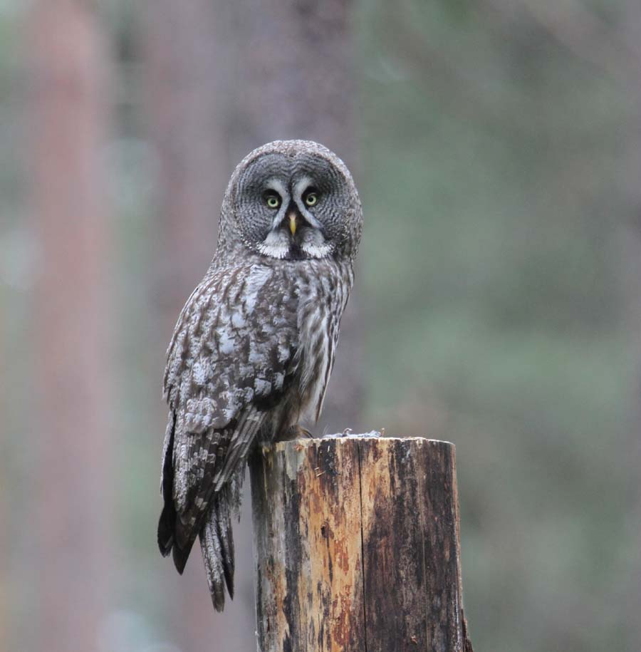 great gray owl facts - 900×915