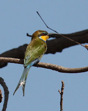 Swallow-tailed Bee-eater, The Gambia
