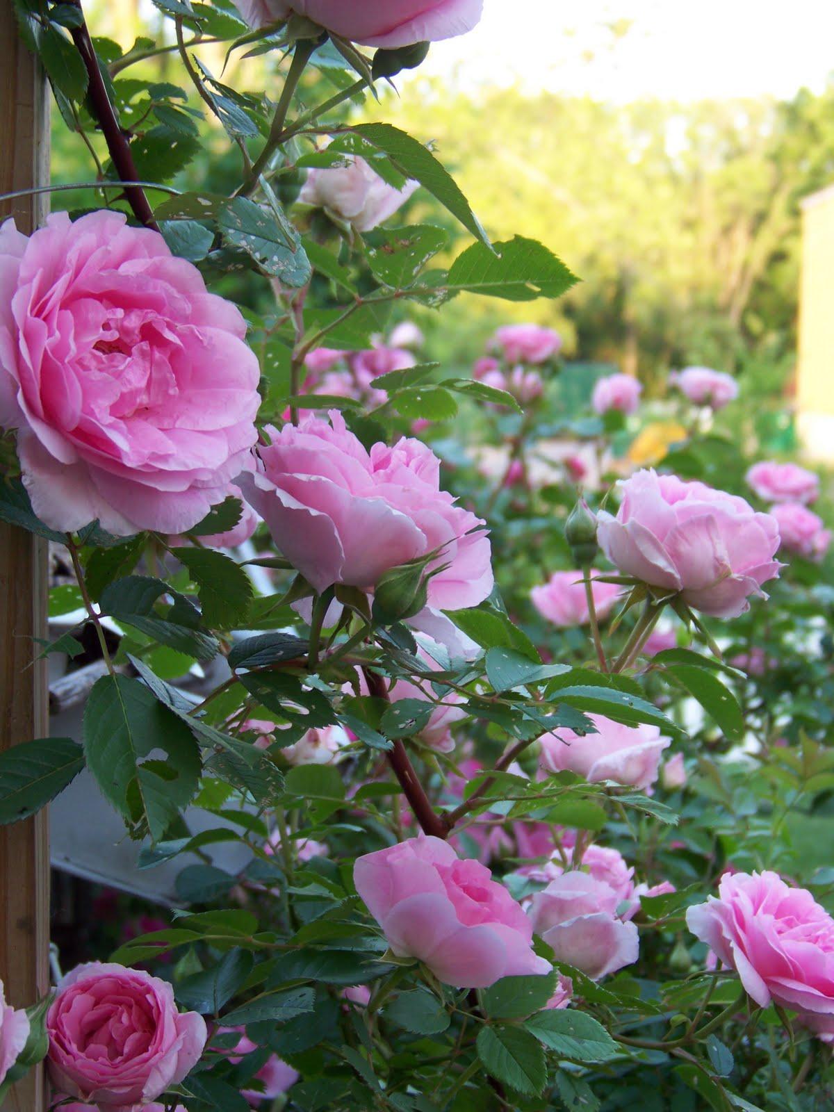 Roses In Garden: I Love My Garden: Ah, Roses