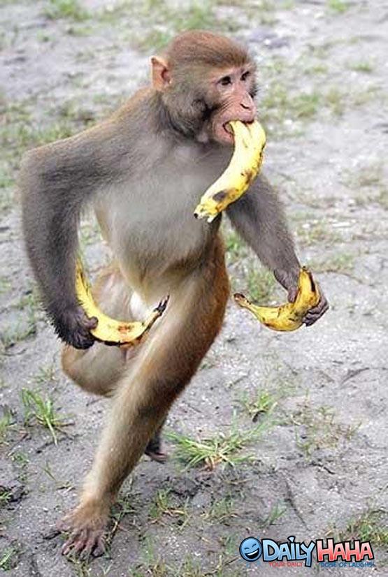 Gambar Monyet Bawa Pisang Download Gambar Monyet Makan Pisang Lucu