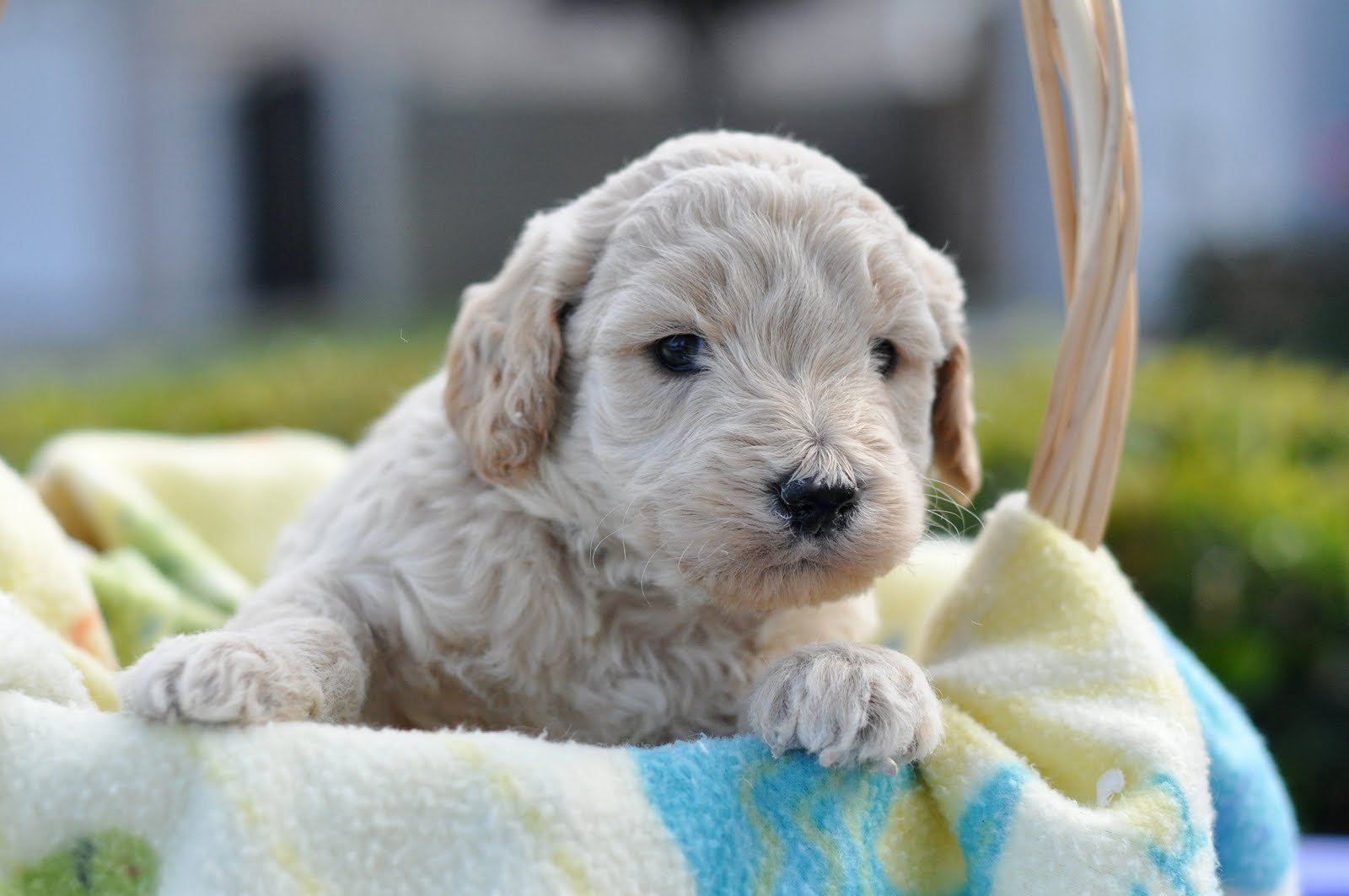 Faithful Doodles: 4 Week Old F1B English Goldendoodles! | Southern