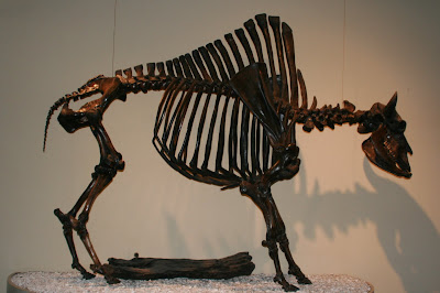 Ancient Bison fossil at La Brea Tar Pits