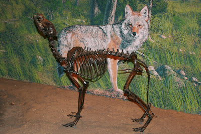 Page Museum coyote fossil