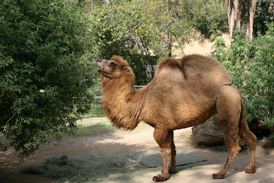 Camel at Los Angeles Zoo
