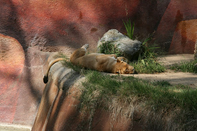 Sleeping lion at Los Angeles Zoo