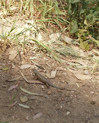 Griffith Park Lizard