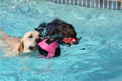 Pool ball Labrador retrievers