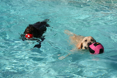 Chocolate and yellow pool Labradors