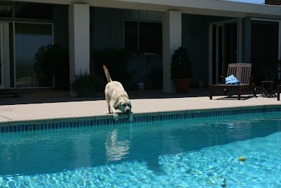 Labrador about to jump in pool