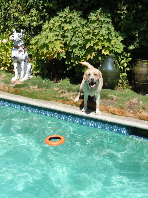 Happy pool Labrador Cooper