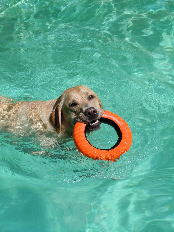 Labrador Cooper's pool toy