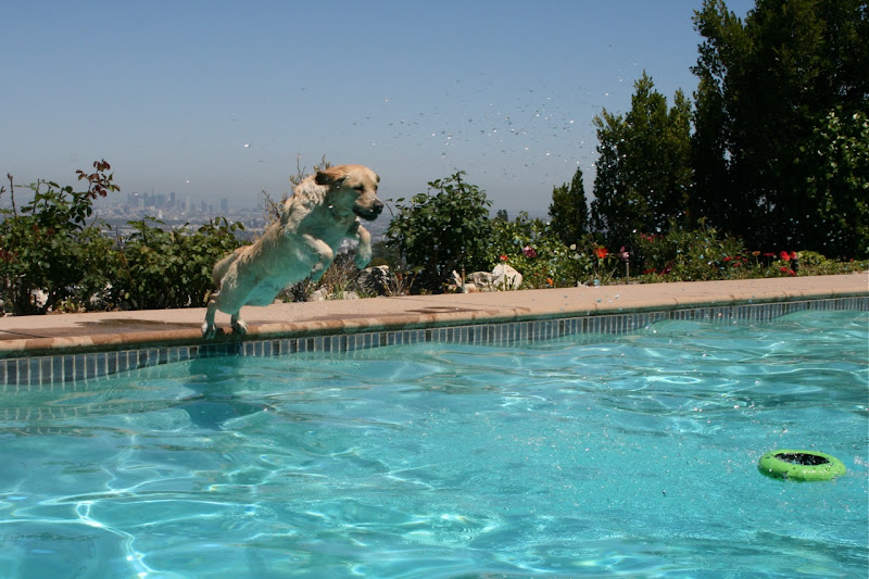 Labrador Cooper pool diving