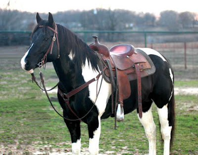 Black And White Paint Stallion For Sale