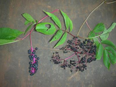 Elderberry Vs Pokeberry