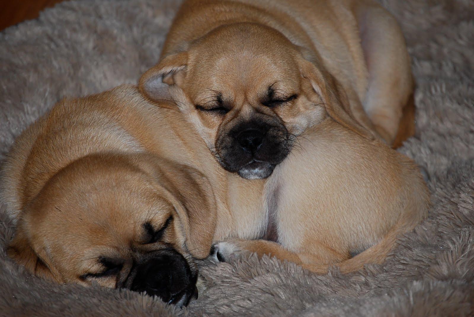 Snuggle Puggles