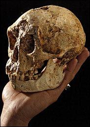 Une théorie alternative pour l'asymétrie du crâne d'homo Floresiensis