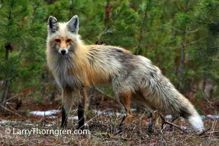 The Wild Photographer Red Fox Donnelly Idaho
