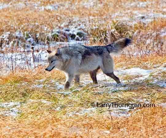 The Wild Photographer: Yellowstone Wolf - Alpha Female