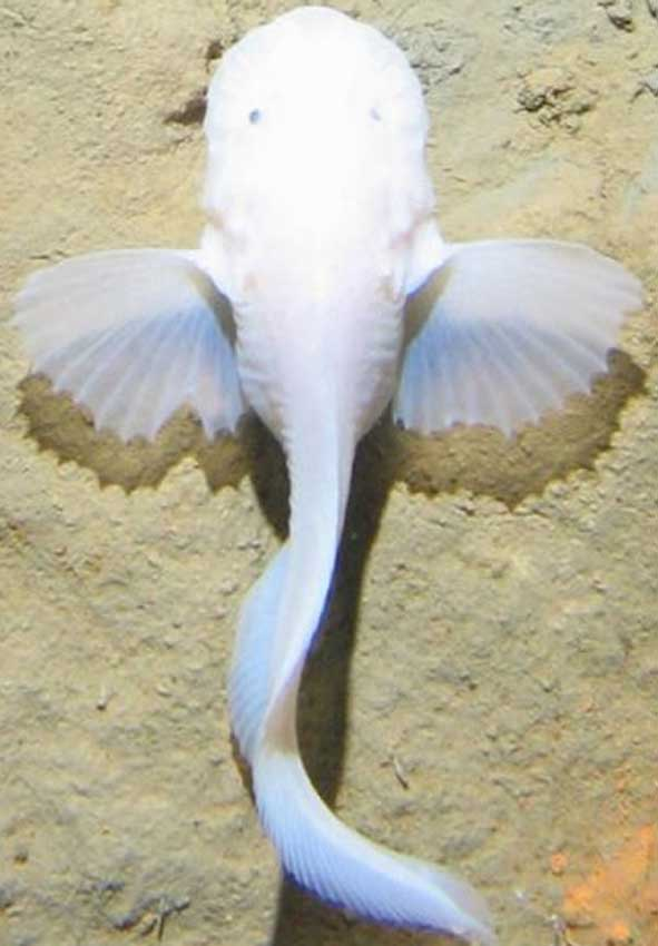 Resultado de imagen para pez caracol