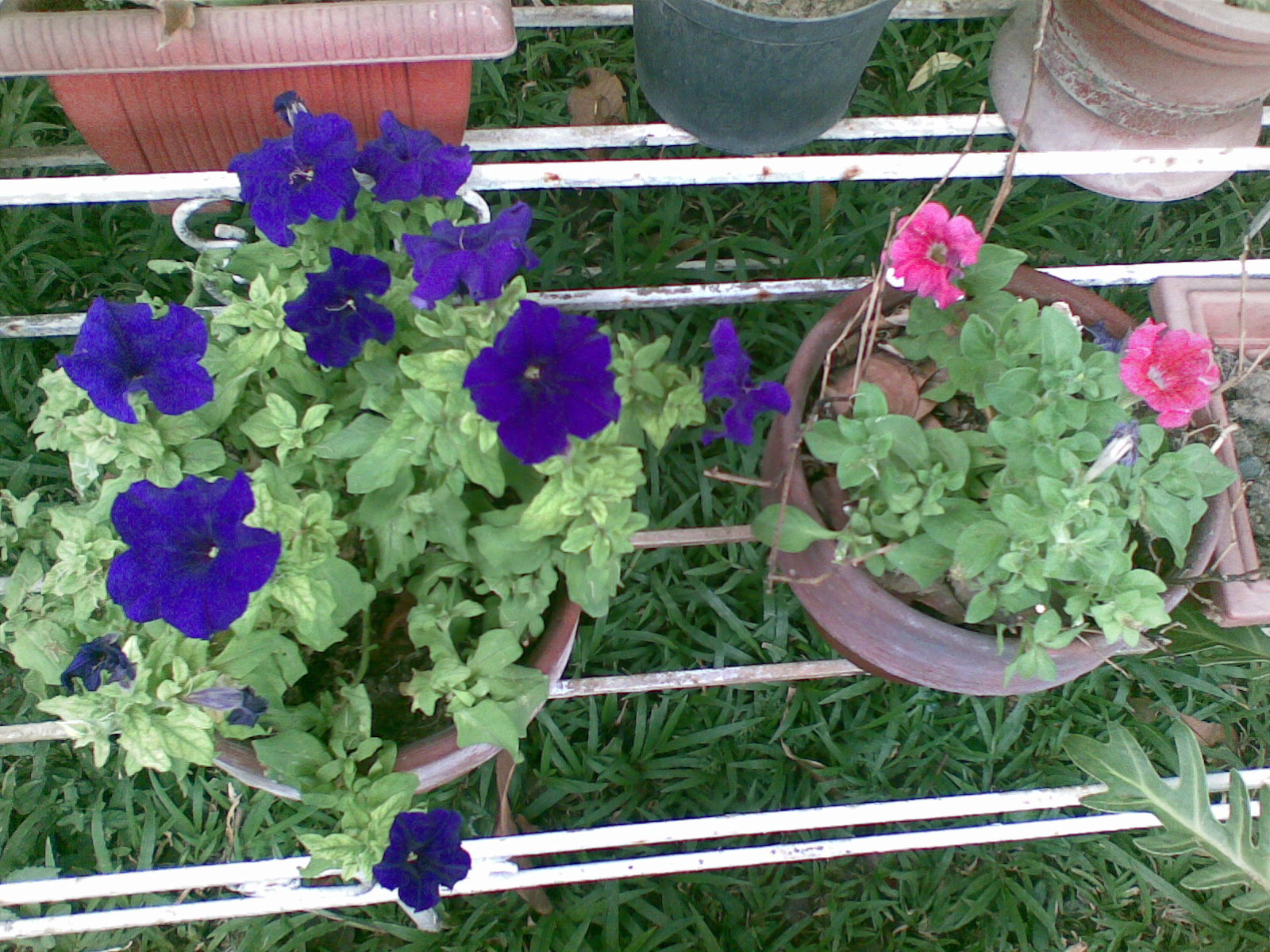They Bloom And Grow On Their Own Without Too Much Effort For Me I Water Heavily Leave Them In Medium Sun Spray My Soap Solution Use