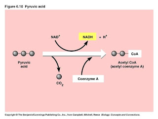 Ibbio Licensed For Non Commercial Use Only Cellular Respiration And Photosynthesis