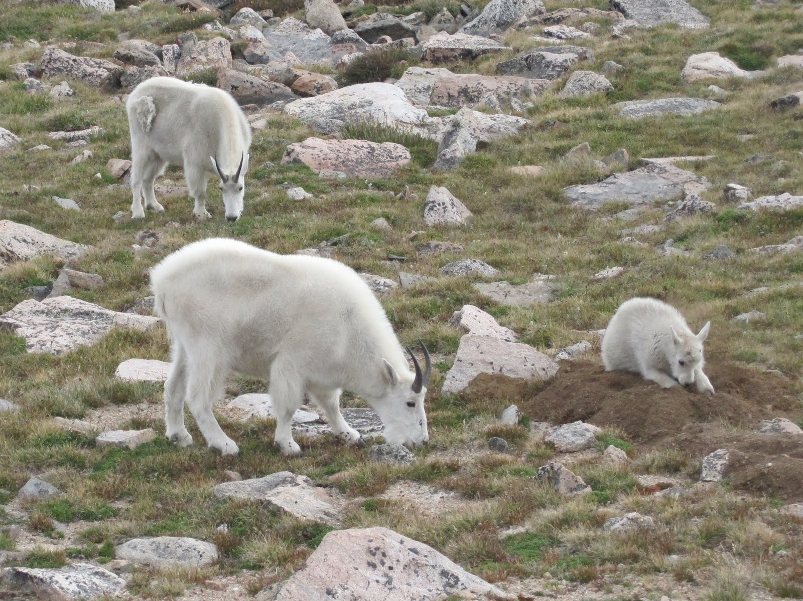 Cannundrums  Mountain Goats