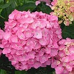 Pink hydrangea bloom - www.ColorChoicePlants.com