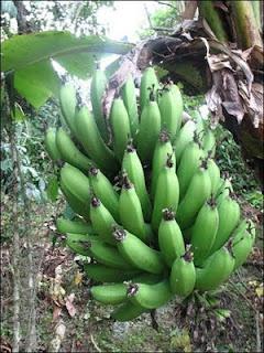dole finally drops fatuous lawsuit against bananas!*