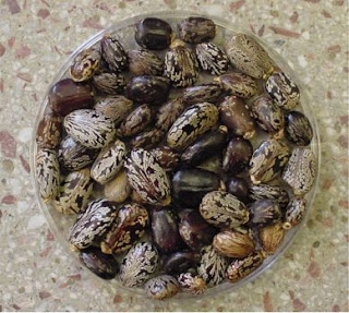 Castor Beans, World's Most Toxic Plant