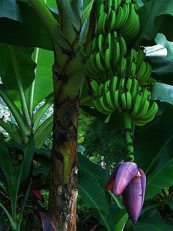 Agriculture Banana Tree Origin Amp Nature