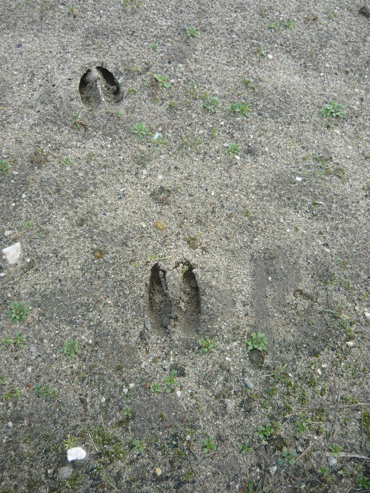 Tracks & Signs: Roe Deer Tracks