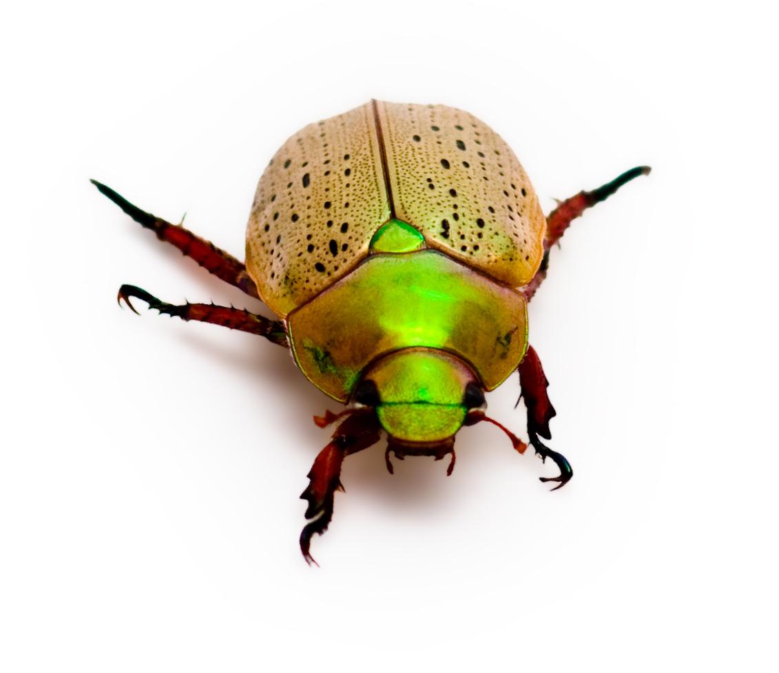 Christmas Beetles.Centre For Fortean Zoology Australia A Christmas Beetle Tale