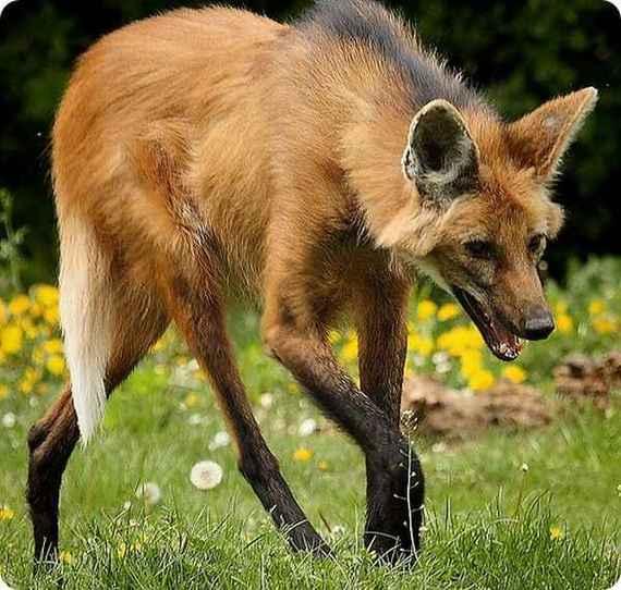 animals weird animal cool unique wildlife funny животные wolf волк maned awesome