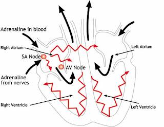 Human Respiratory and Cardiac Systems: Explain the ...