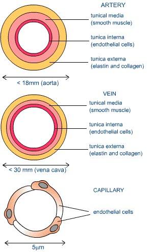 Human Respiratory and Cardiac Systems: Describe the ...