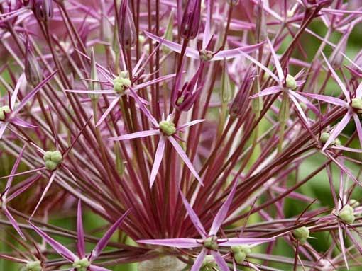Gogardennow The Gardening Blog Ornamental Allium Fireworks In