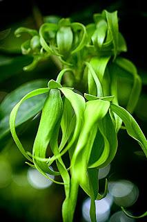 Bunga Kenanga Toko Bunga Cyrosella Tentang Bunga