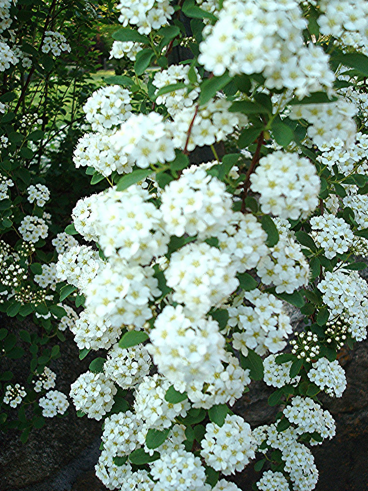 Flowers And Nature In My Garden Spirea Japonica Bridal Veil