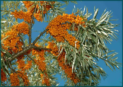 Image result for sea buckthorn