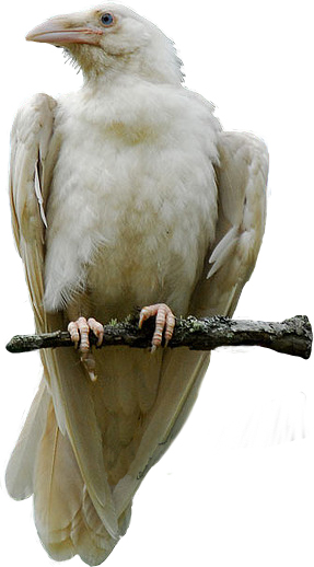 CorvusCoraxAlbus: De Witte Raaf (Corvus Corax Albus)