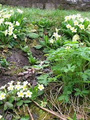 Primroses in the Snuff Mills garden