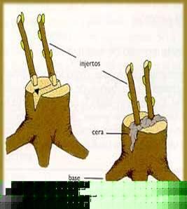 Que es propagacion asexual vegetativa o sin semilla