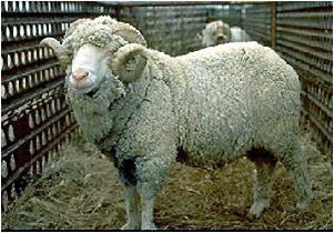 Komoditas Ternak Domba Ketekdekil
