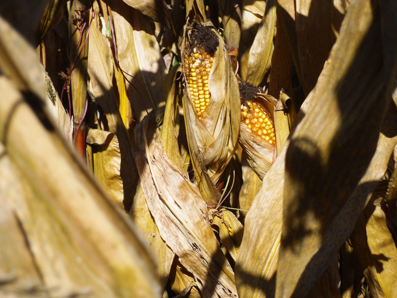 Culpeper Virginia Golden Ears Of Corn