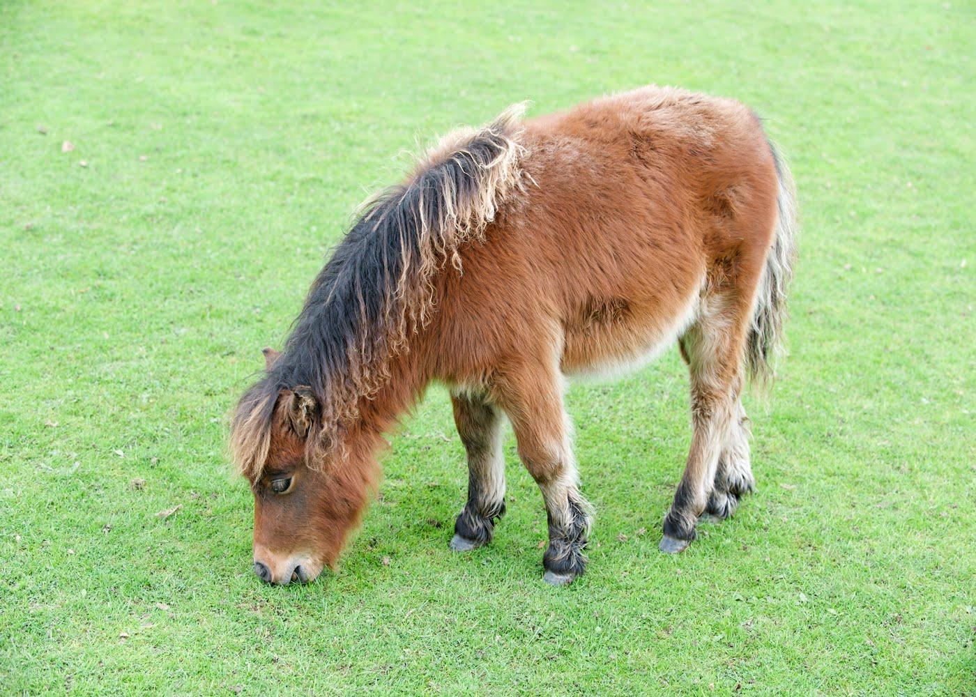 Walaupun Peternakan Kuda Diperkirakan Telah Dimulai Sejak Tahun  Sm Bukti Bukti Penggunaan Kuda Untuk Keperluan M Ia Baru Ditemukan Terjadi Sejak