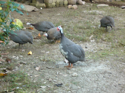 ayam belanda utara: Updates June 2009: Ayam Mutiara / Ayam