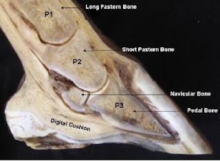 www.healthyhooves.co.uk/hoof_anatomy.pdf