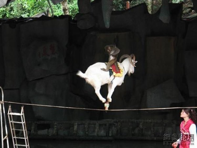 Chinese street circus with a Goat and Monkey: 06